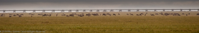 500 or more caribou graze near the Trans-Alaska pipeline.