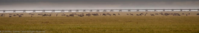 500 or more caribou graze near the Trans-Alaska pipeline.
